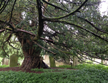 Tales of the Forgotten North: The Beltingham Yew